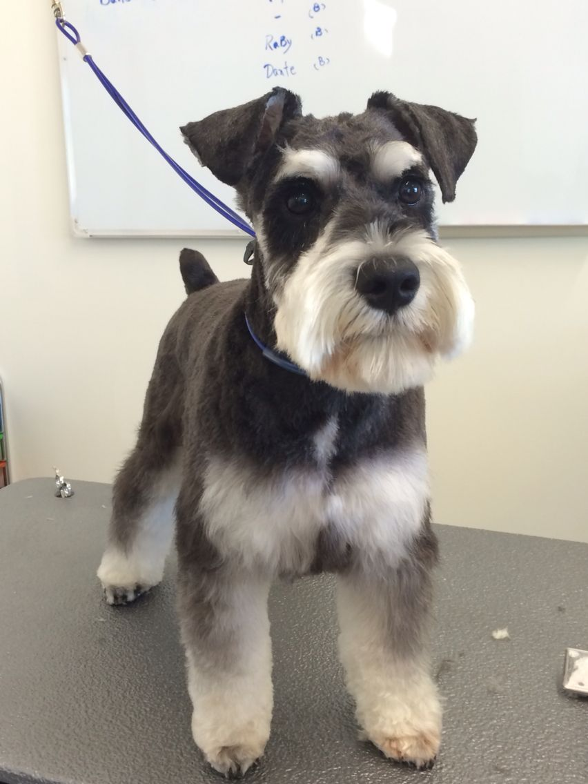 pin by anthony seemster on doggie haircuts | schnauzer