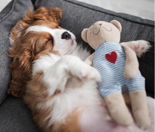 For The Sweetest Dreams Comfortable Beds For Your Four Legs Friends Sleeping Cavalier King Charles Span King Charles Cavalier Spaniel Puppy Cute Dogs Dog Bed