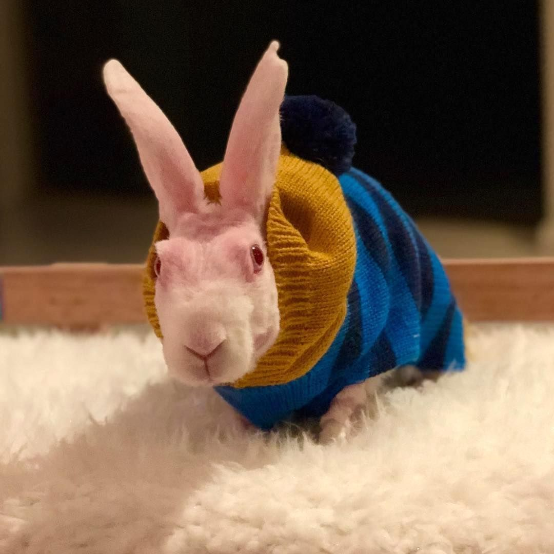 A Hairless Bunny Named Mr Bigglesworth Dresses Up In Cozy Sweaters To Keep His Bald Little Body Warm Bunny Names Bunny Cute Animals