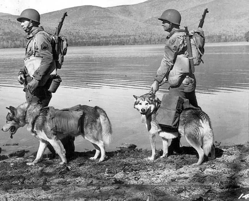 Us Army Malamutes During World War Ii Shared By Scott Genghis Wong