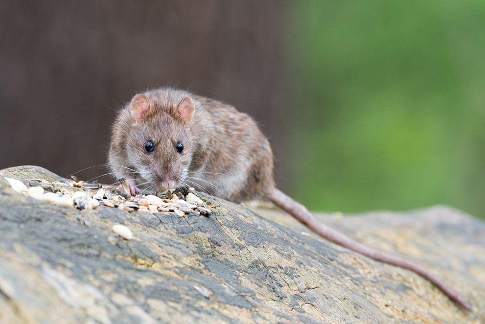 Pin On Best Rat Poison
