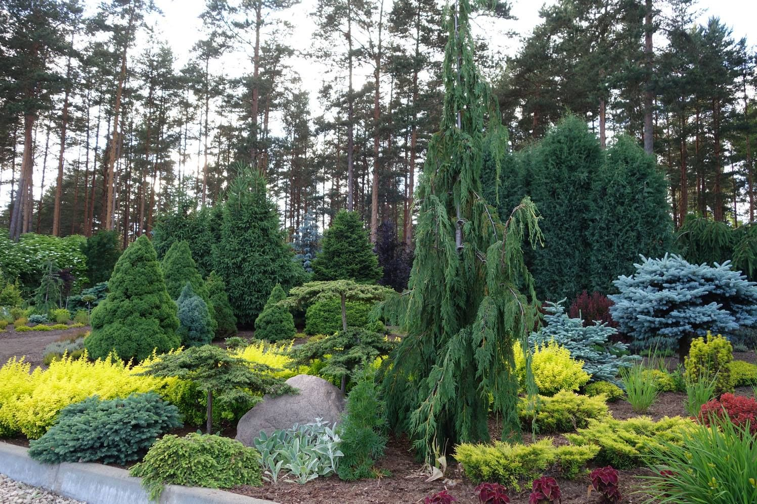 Love The Yellow Barberries Perfect Contrast To The Blue Star Juniper Or Maybe Even Globe Blue Spruce Conifers Garden Evergreen Landscape Evergreen Garden