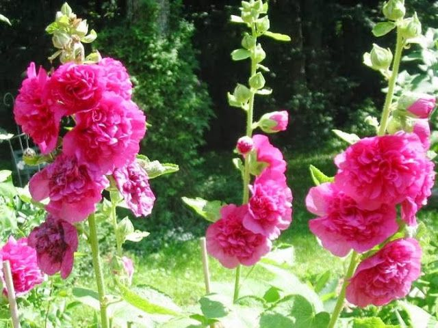 Hatmi çiçeği Nedir Hatmi çiçeğinin Faydaları Hatmi çiçeğinin