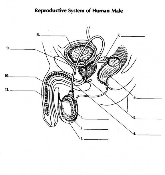 Male Reproductive System Unlabeled Diagram Reproductive System Human Male Human Body Systems