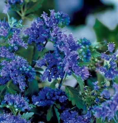 Caryopteris x clandonensis 39 longwood blue 39 bluebeard i for Blue flowering bush