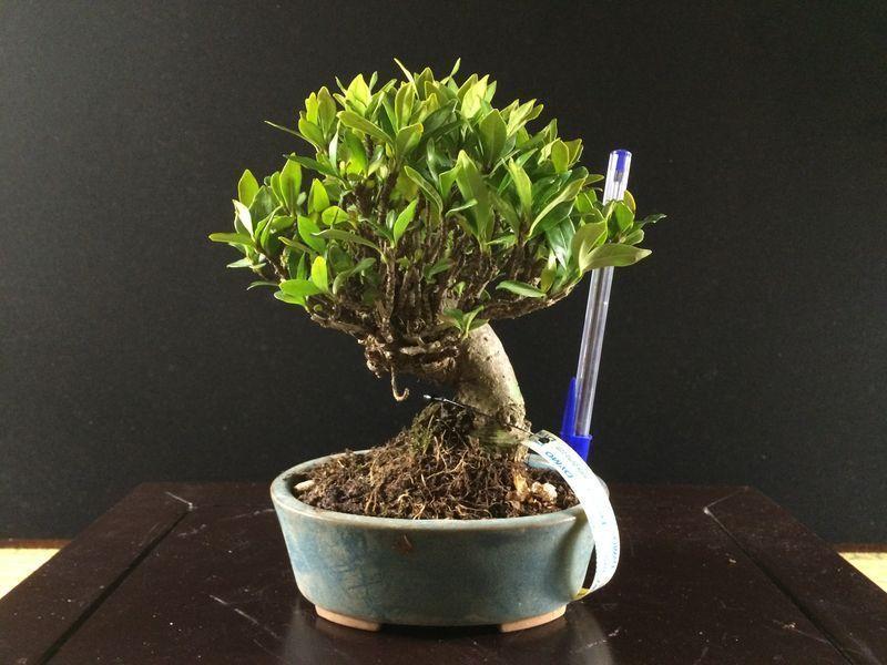 Bonsai Gardenia variedad Jasminoides (Kuchinashi)