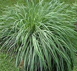Citronela contra los mosquitos plantas jard n pinterest plantas plantas jardin y tipos de - Plantas contra los mosquitos ...