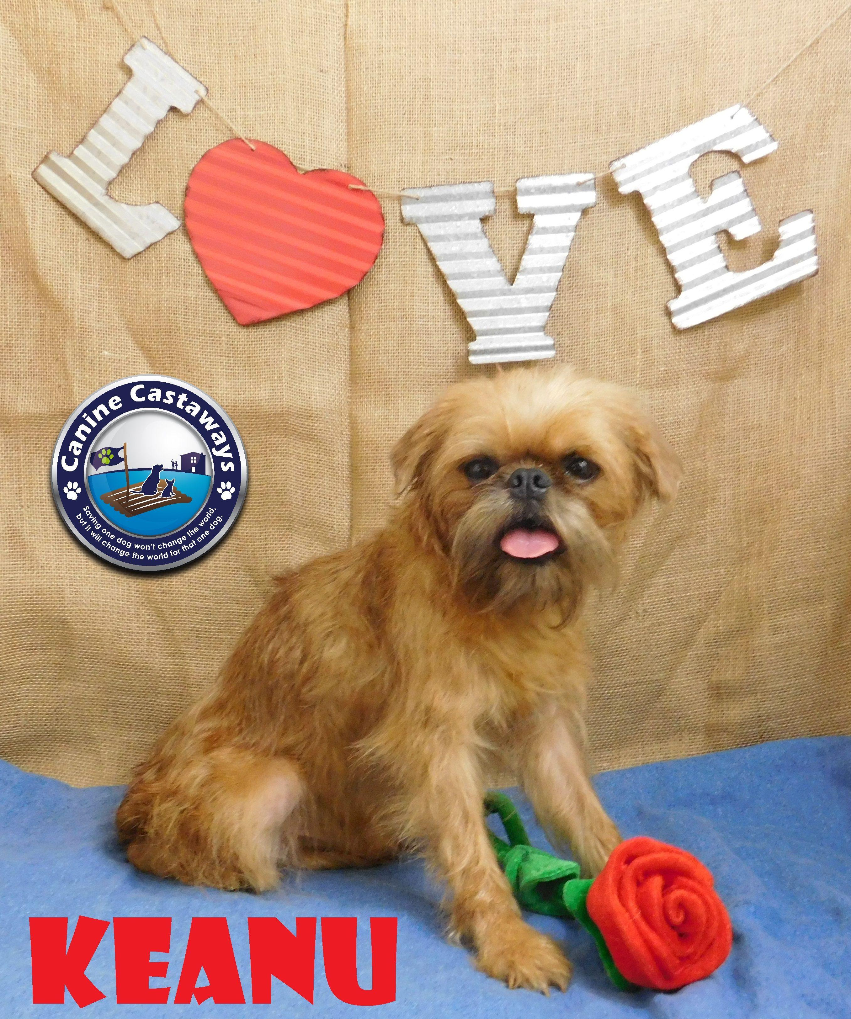 Brussels griffon dog for adoption in arcadia fl adn