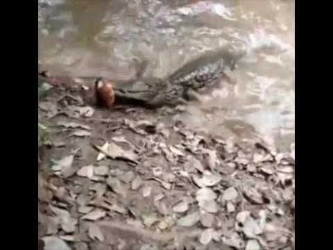 SHOCKING! Alligator Gets Shocked By an Electric Eel ...