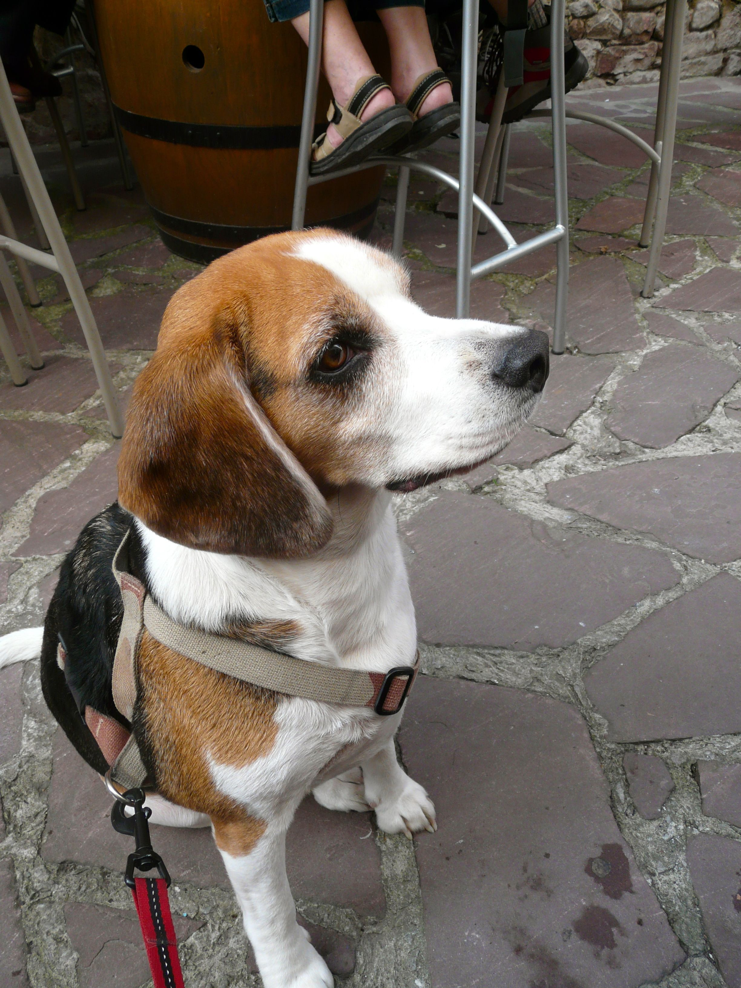 Beagle Is In Top 11 Best Dog Breeds Read More About Living