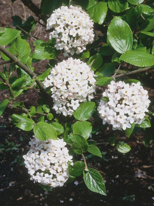 The most fragrant shrubs types of shrubs hgtv gardens fragrant a compact deciduous shrub the viburnum offers clusters of pink buds that produce fragrant white flowers in mid to late spring mightylinksfo