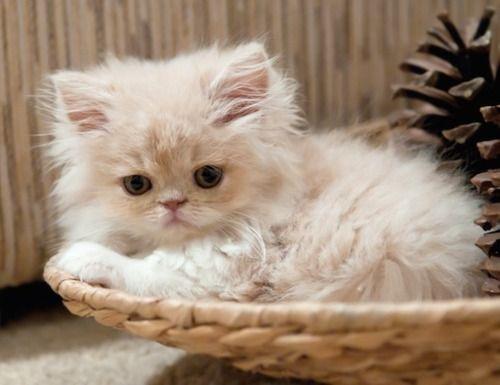 Fluffy Little Kitten Kittens Cutest Pretty Cats Cute Cats