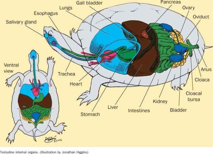 Turtle Internal Anatomy Icm Resources Pinterest Anatomy