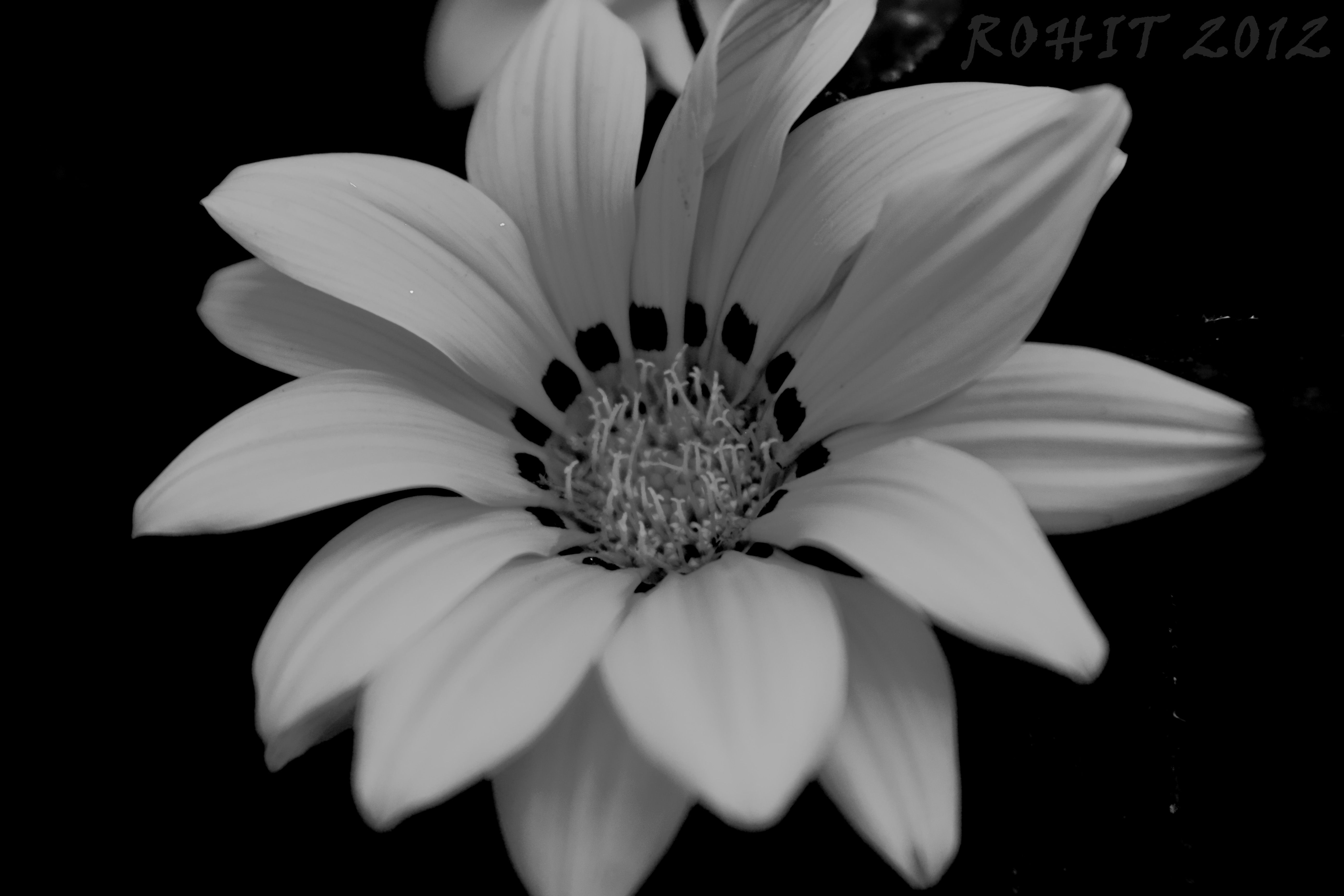 Flower Black And White Hd Background Wallpaper 28 Wallpapers
