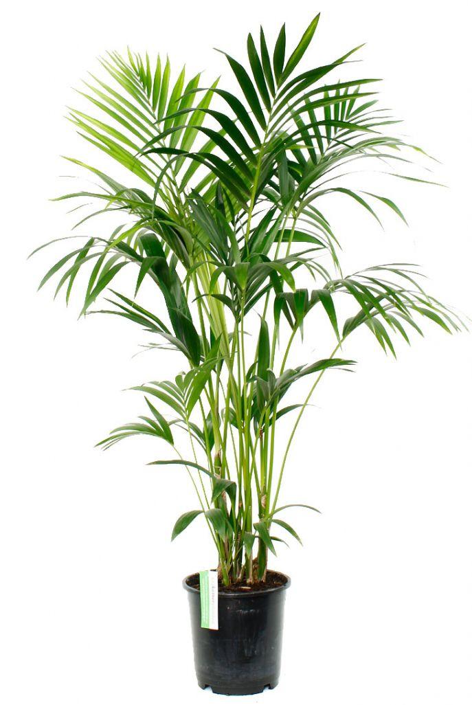 14 Teuer Palme Wohnzimmer Sie Mussen Sehen In 2020 Kentia Palme Wohnung Pflanzen Palmengewachse