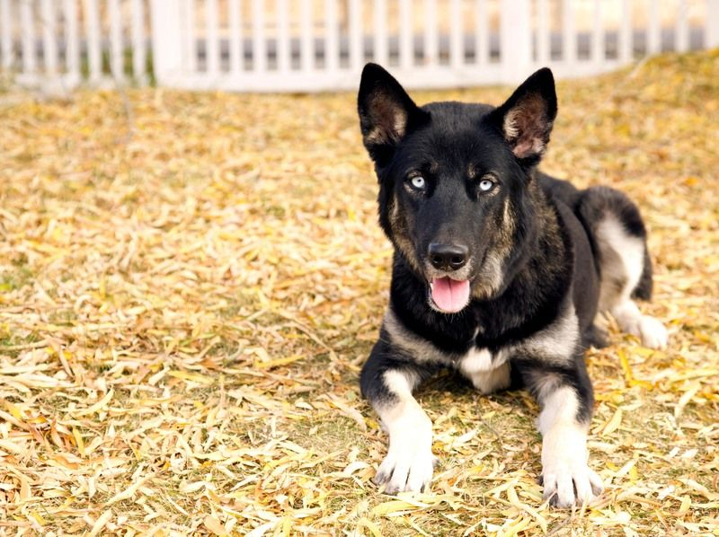 Adorable Much Image By Kacy Combest German Shepherd Husky Mix German Shepherd Husky Puppies