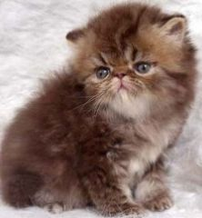 Meow House Kittens Persian Kittens Persian Kittens For Sale Persian Cats For Sale