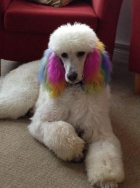Cute Standard Poodle Puppies (White)
