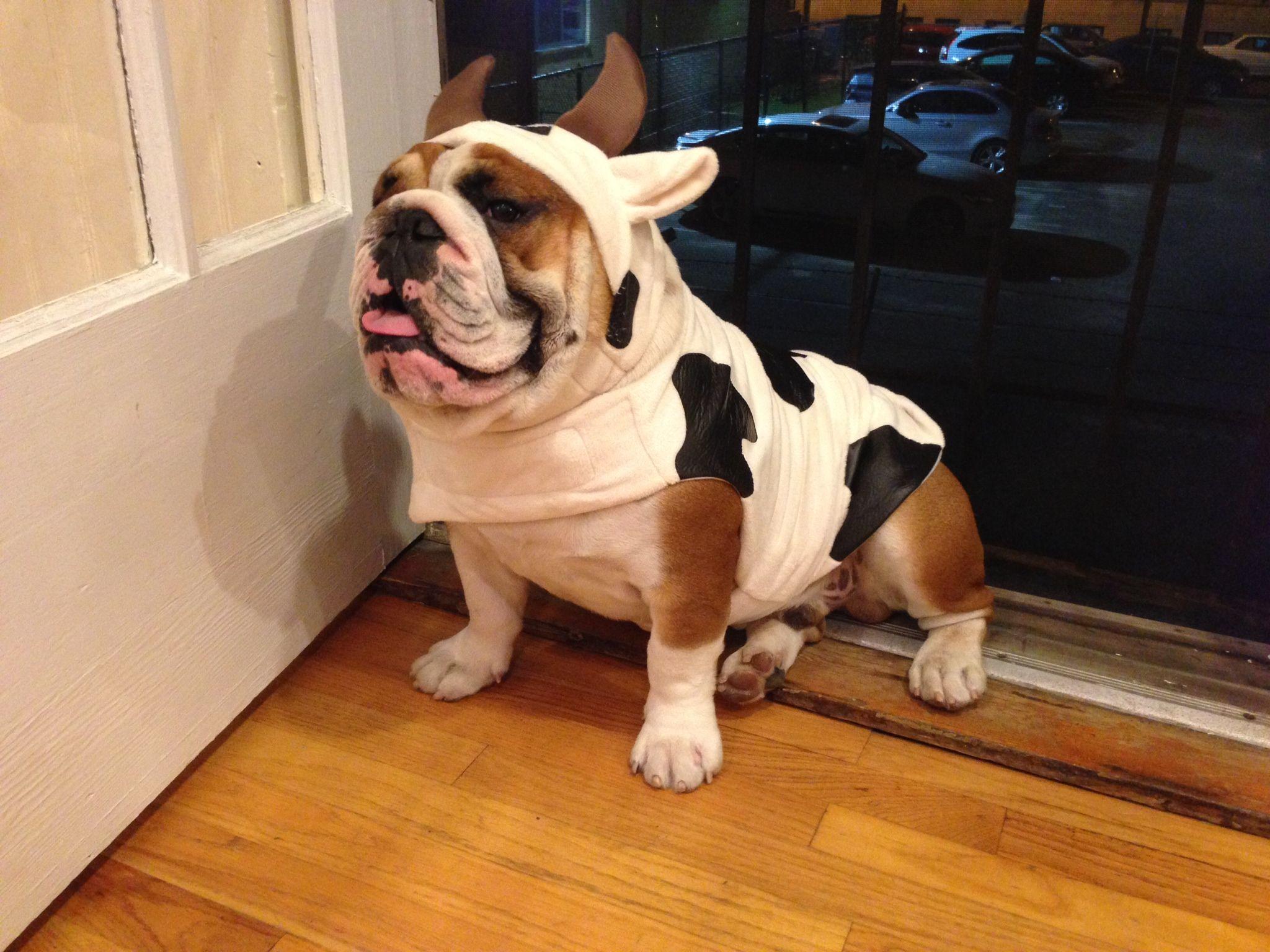 Blog Bulldog Puppies Puppies Funny Costumes