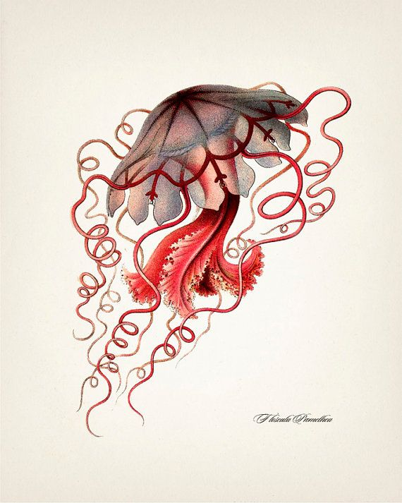 Photo of Jellyfish (Floscula Promethea) by Haeckel – OC-10 – Fine art print of a vintage natural history antique illustration,