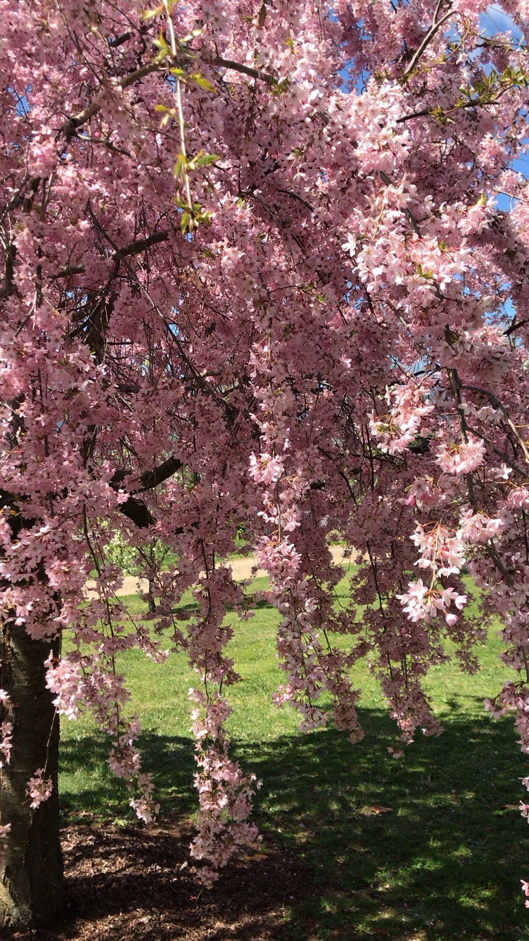 Cherry Blossoms Video Blossom Garden Blossom Trees Cherry Blossom Tree