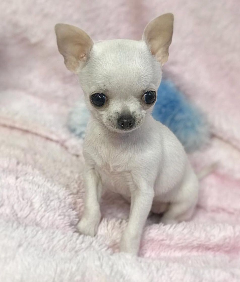 Chihuahua Chiwawa This Cutie Chihuahua Puppies Chiwawa Puppies