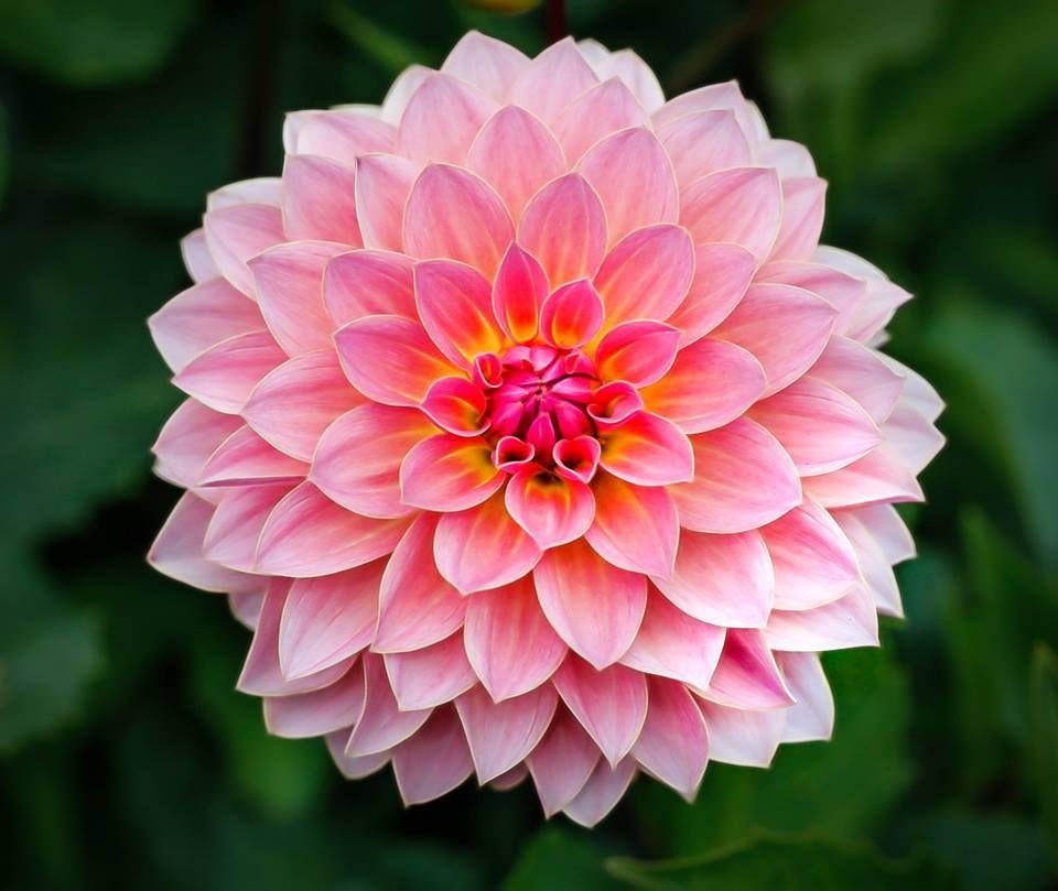Beginner Guide For Composition Beautiful Flowers Dahlia Flower Flowers