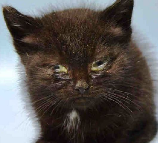 Super Urgent Blu A1110157 Little Black Kitten Blu Needs You At Bacc 3 Week Old Eating On Own Animals Cute Cats Animals Beautiful