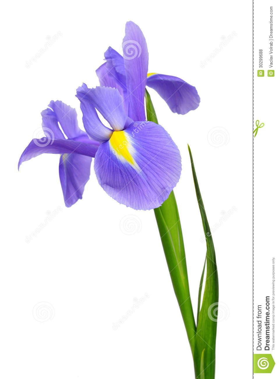 Purple iris flower royalty free stock photos image 30299688 flower purple iris flower royalty free izmirmasajfo Images