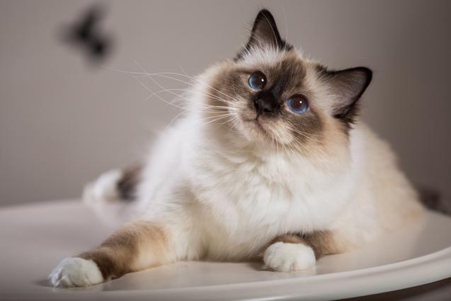 Top 10 Friendliest Cat Breeds - PetGuide #catbreeds