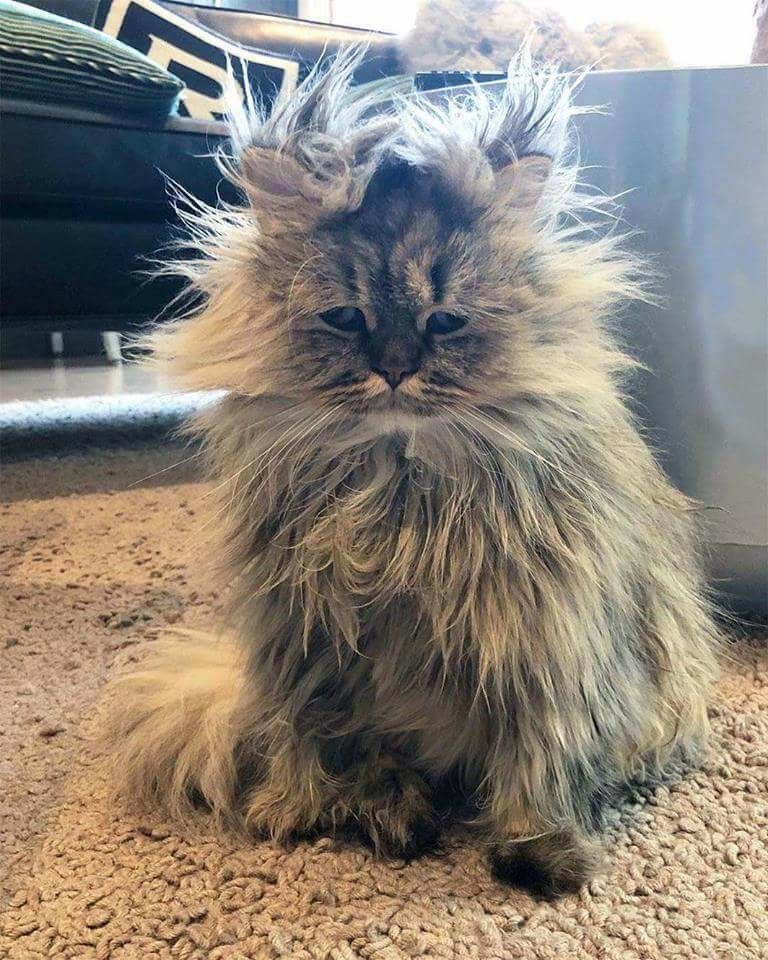 Cats Having A Bad Hair Day: Very Bad (hair) Day ! Tap The Link To Check Out Great Cat