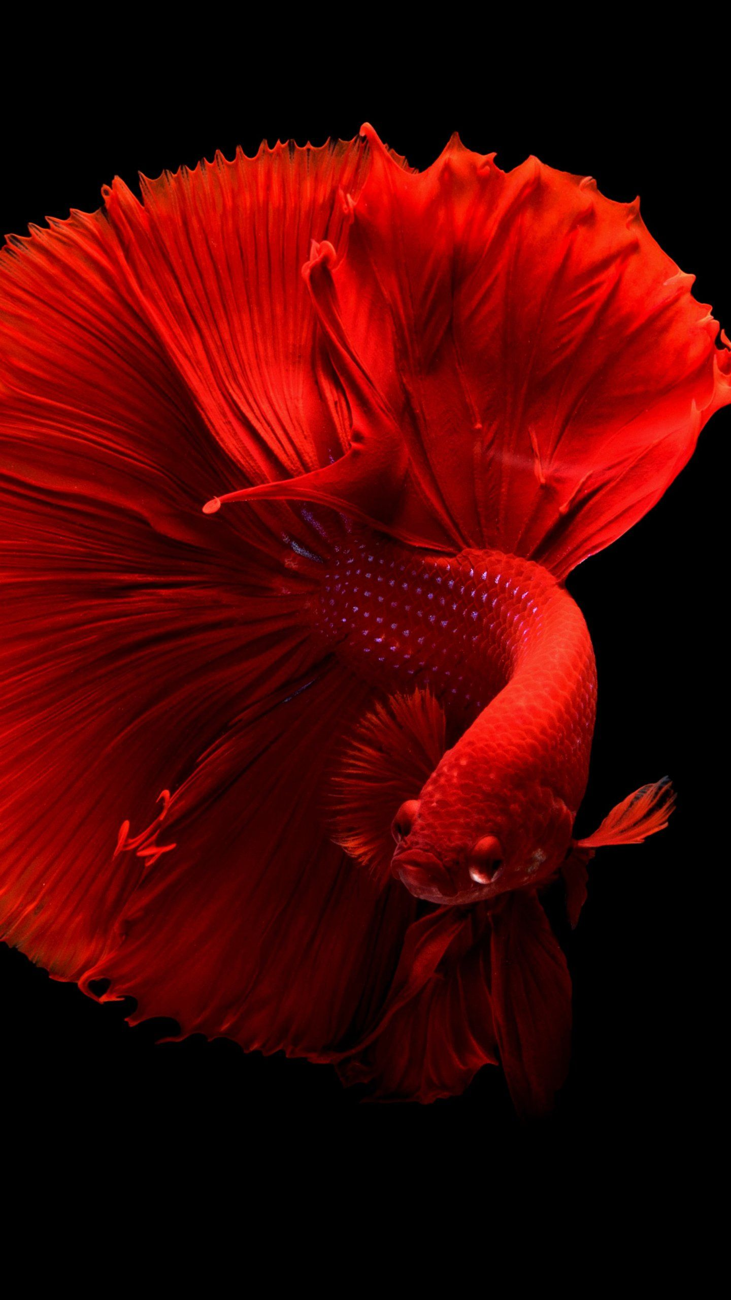 Siamese Fighting Fish Wallpaper iPhone, Android