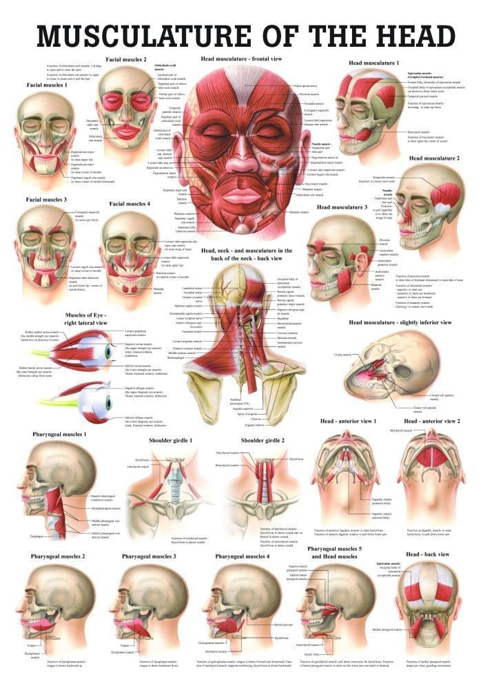 Muscles Of The Head Laminated Anatomy Chart Massage Life