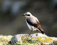 La collalba gris2 (Oenanthe oenanthe3 ), es un ave paseriforme que antes fue clasificada como miembro de la familia Turdidae de los zorzales, pero ahora es más generalmente considerada dentro de la familia Muscicapidae de los papamoscas del Viejo Mundo.