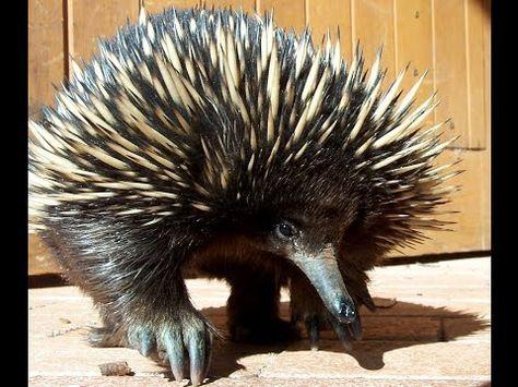 Pin On Australia Animals
