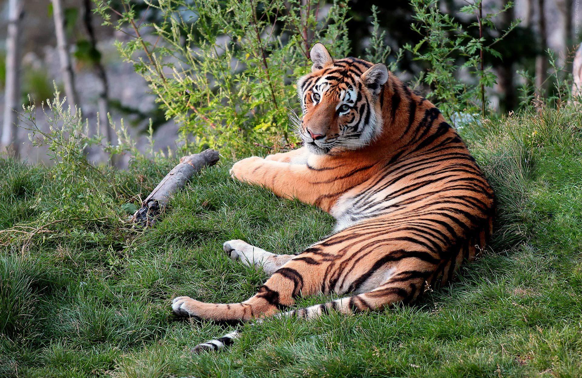 Fondo pantalla Tigre Tumbado