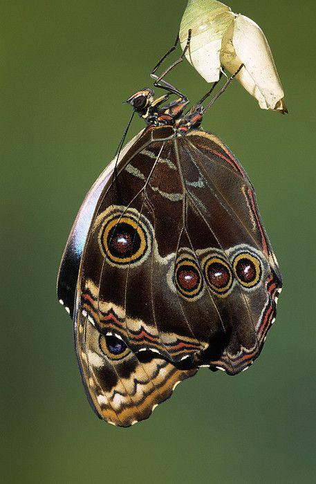 """Blue Morpho Butterfly Emerging By Ingo Arndt / """"Nossa coragem, marca o inicio social da nossa transformação."""" (Mestre Arievlis)"""