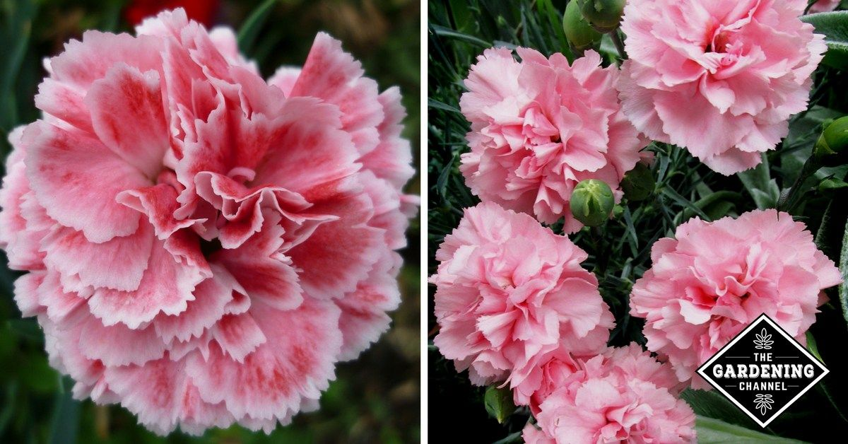 c93dbf9ea From prom corsages to elementary school science experiments, carnations ( Dianthus caryophyllus) serve a myriad of purposes as cut flowers.