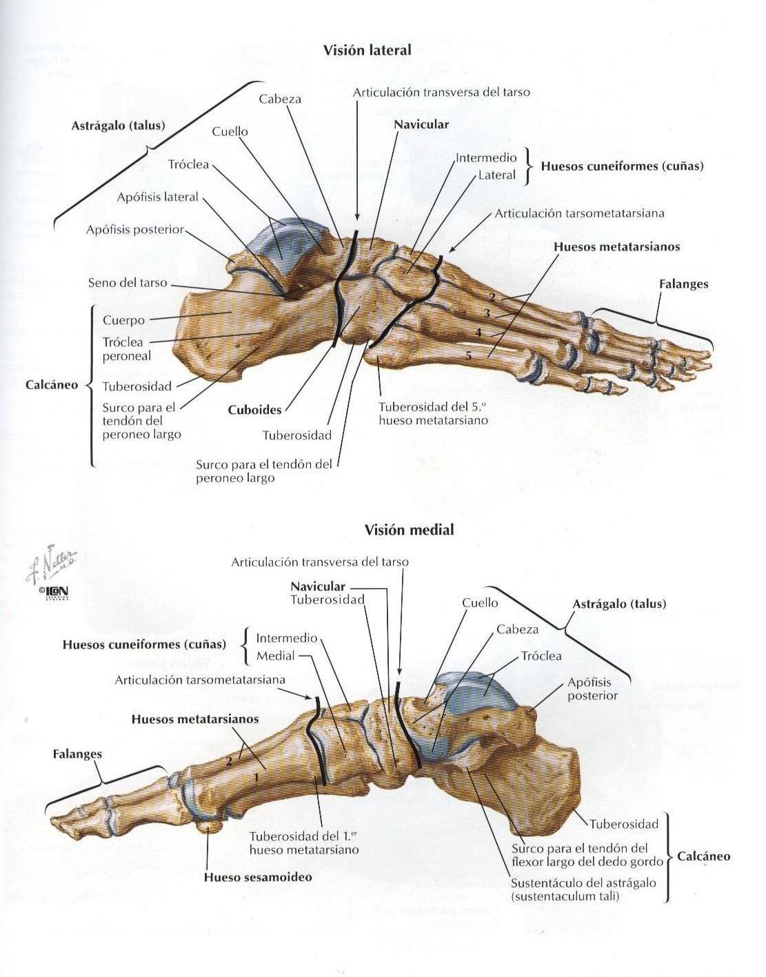 ASOTERCI - CASC: Miembro Inferior | Anatomía | Pinterest | Cuerpo ...