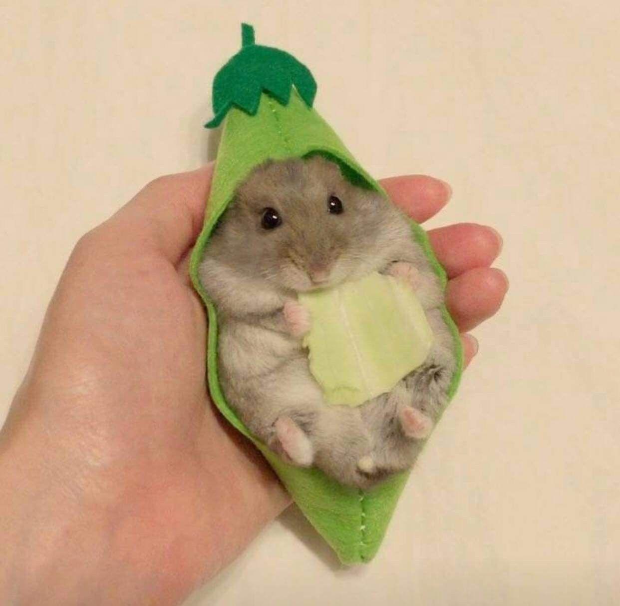 Pin By Iaza Hussain On Animal Farm Funny Hamsters Cute Hamsters Cute Funny Animals