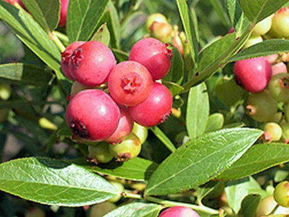 Blueberry Plant Southern Highbush by EmeraldGoddessGarden on Etsy