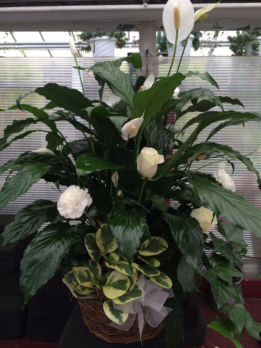 Peace lily with fresh flowers added sympathy tributes pinterest peace lily with fresh flowers added izmirmasajfo