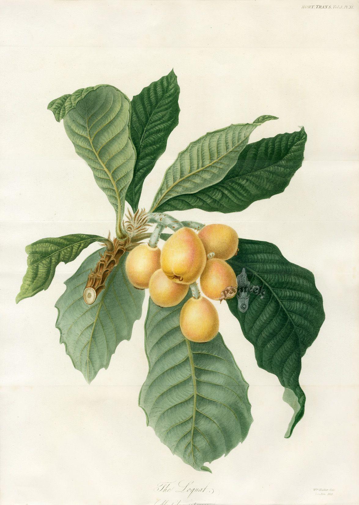 The Loquat, Botanical print 1812