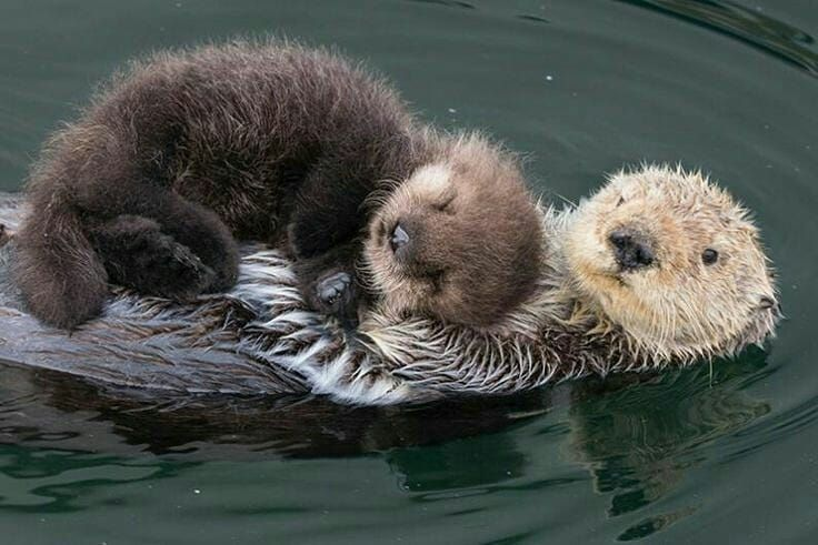 Sea otter Seaotter ottersofinstagram wildlifeonearth