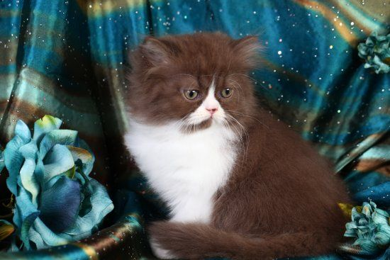 Pin En Persian Cats