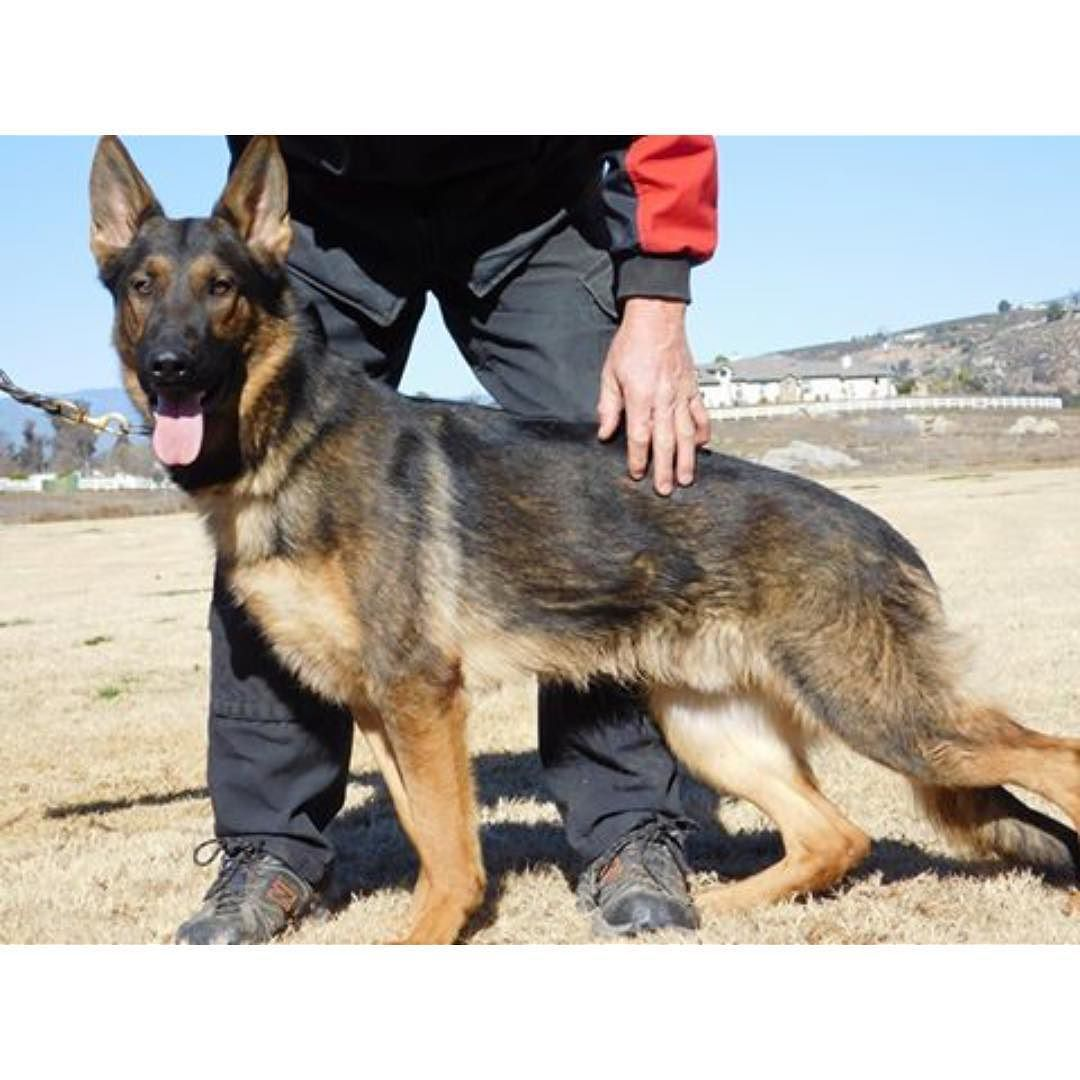 Dogs Of Valor On Instagram Look At That Long Lean Face On That Shepherd Dogs Shepherd Animals