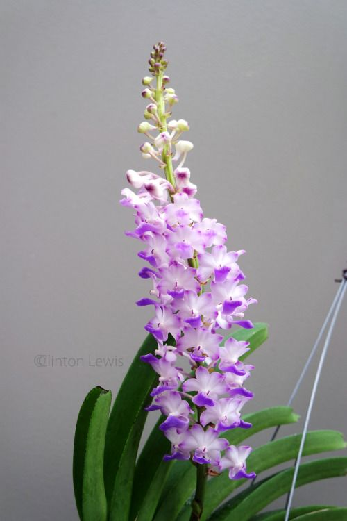 Rhynchostylis Coelestis Var Coerulea Thailand Cambodia And