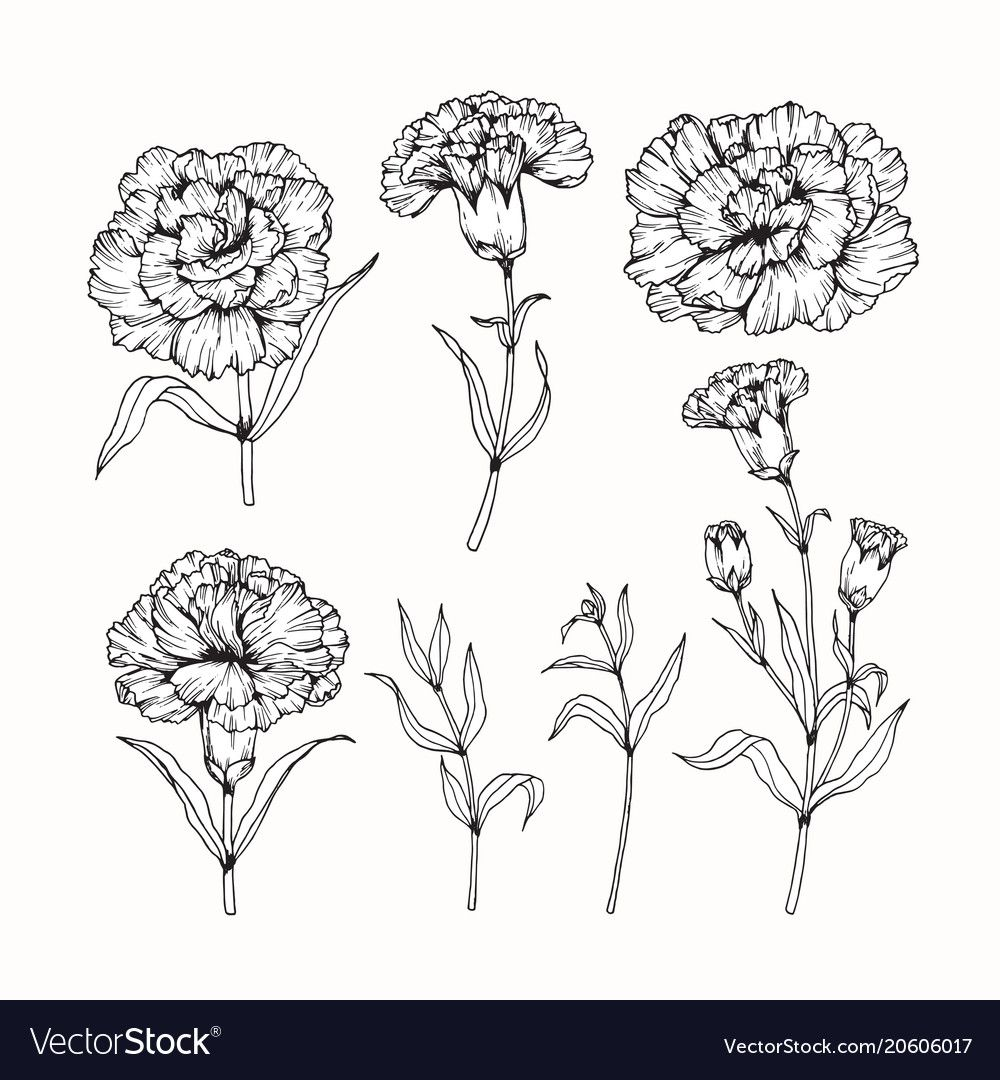 Carnation Flower Drawing Vector Image On Vectorstock Carnation Flower Tattoo Carnation Tattoo Flower Drawing