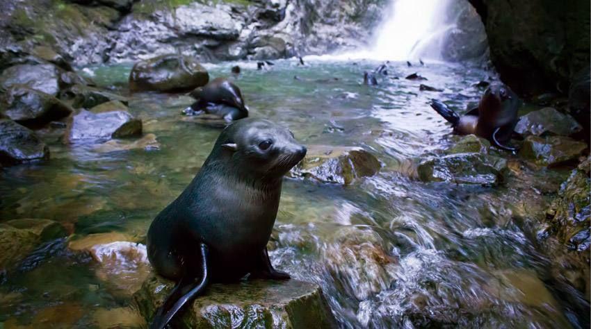 Seal Pups At The Ohau Waterfall Kaikoura