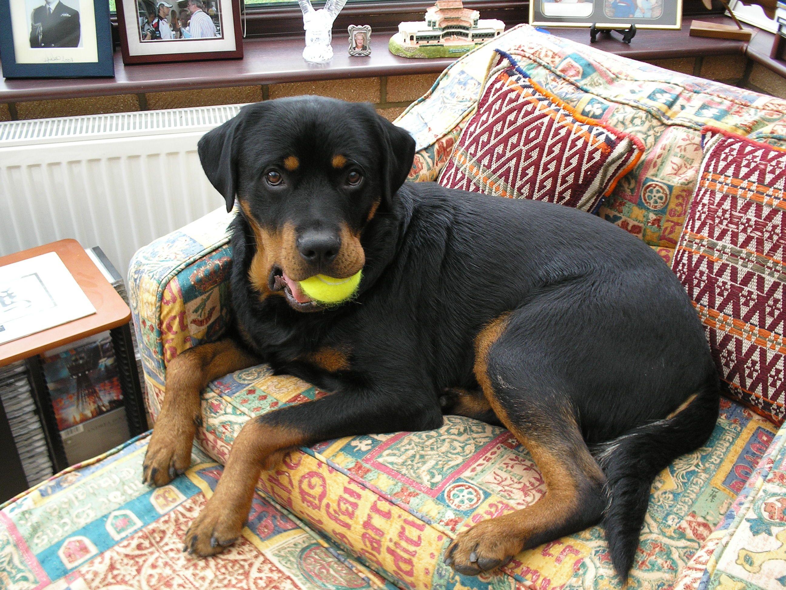 Jack Rottador Rescue Number 2 Dog Crossbreeds Rottweiler Rottweiler Lab Mixes